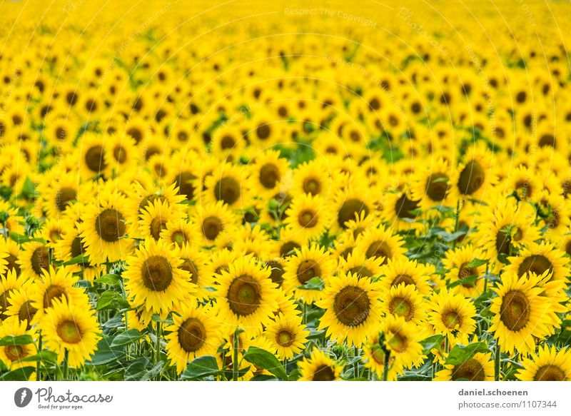 Summer, sun, sunflowers Nature Plant Sun Beautiful weather Blossom Agricultural crop Yellow Green Multicoloured