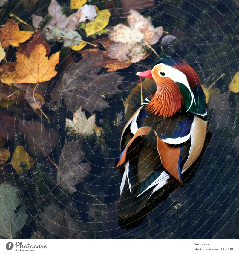 Quakwakwakwakwak! Mandarin duck Multicoloured Autumn Beak Feather Body of water Lake Leaf Quack Exceptional Chinese Brown Yellow Mud Marsh Bird Duck Wing