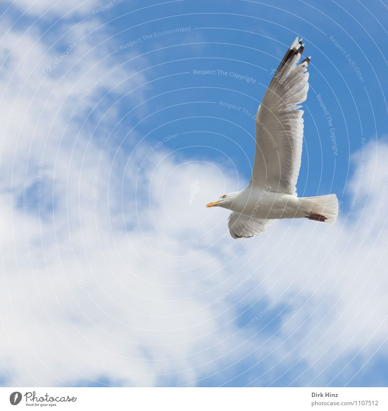 Kiel seagull Environment Nature Animal Air Sky Clouds Coast Bird Wing 1 Flying Esthetic Free Blue Gray Silver White Vacation & Travel Tourism Seagull Sailing