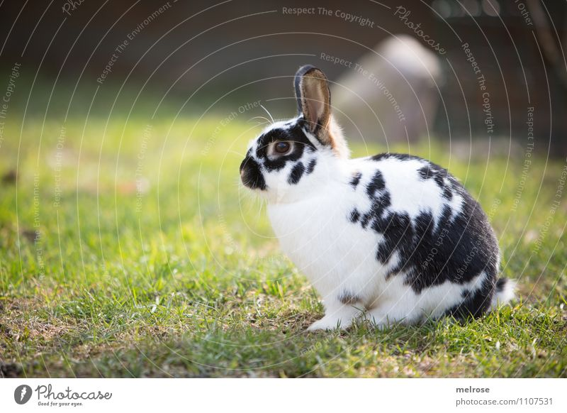 Easter bunny on hold Nature Earth Spring Beautiful weather Grass Meadow Animal Pet Animal face Pelt Paw Rodent Pygmy rabbit Mammal Hare ears 1