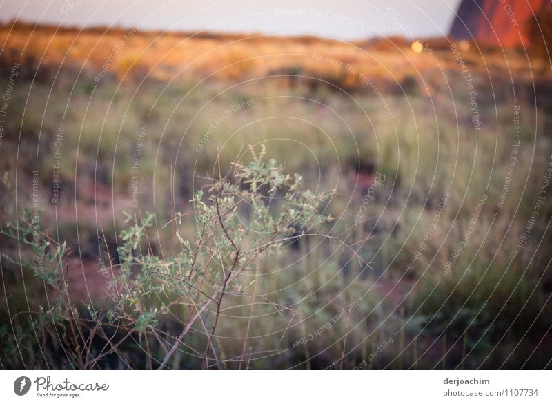 Pure nature, rare shrubs and herbs at the Urulu ( Ayers Rock ) Northern Territory. Australia. Joy Calm Trip Plant Bushes Wild plant Outback Deserted Observe