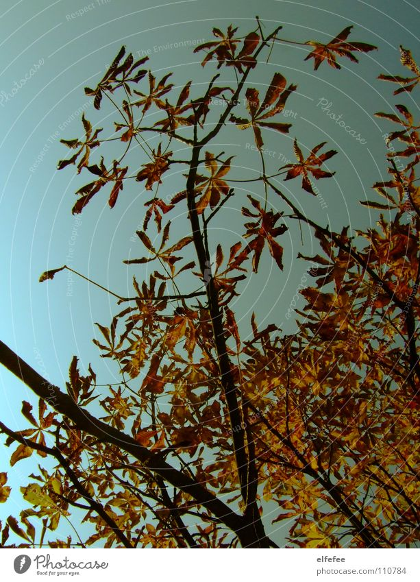 chestnut tree. Autumn Tree Yellow Winter Cold Chestnut tree autumn tree Blue Orange Sky Branch
