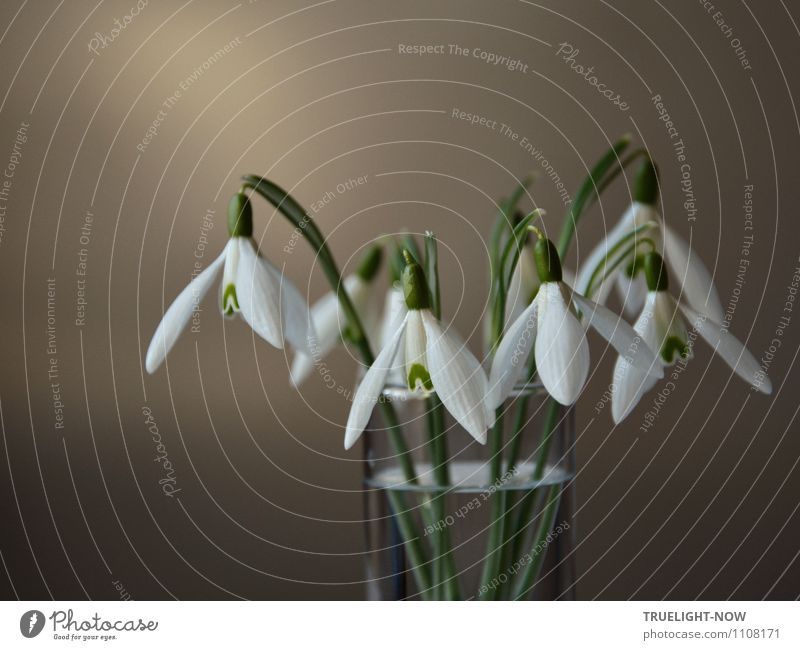 Snowdrops in a glass 3 Elegant Style Design Joy Wellness Life Harmonious Well-being Relaxation Calm Flat (apartment) Decoration Nature Plant Water Spring Flower