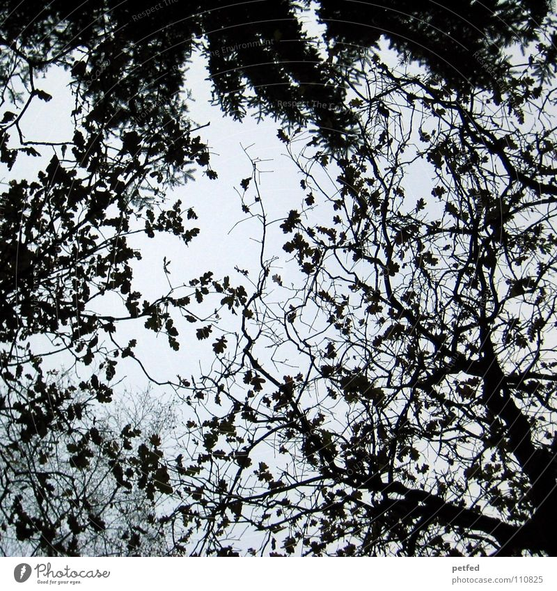 Treetops XI Autumn Forest Leaf Winter Black White Under Clouds Sky Branch Twig Nature Blue Shadow Tall To fall Wind