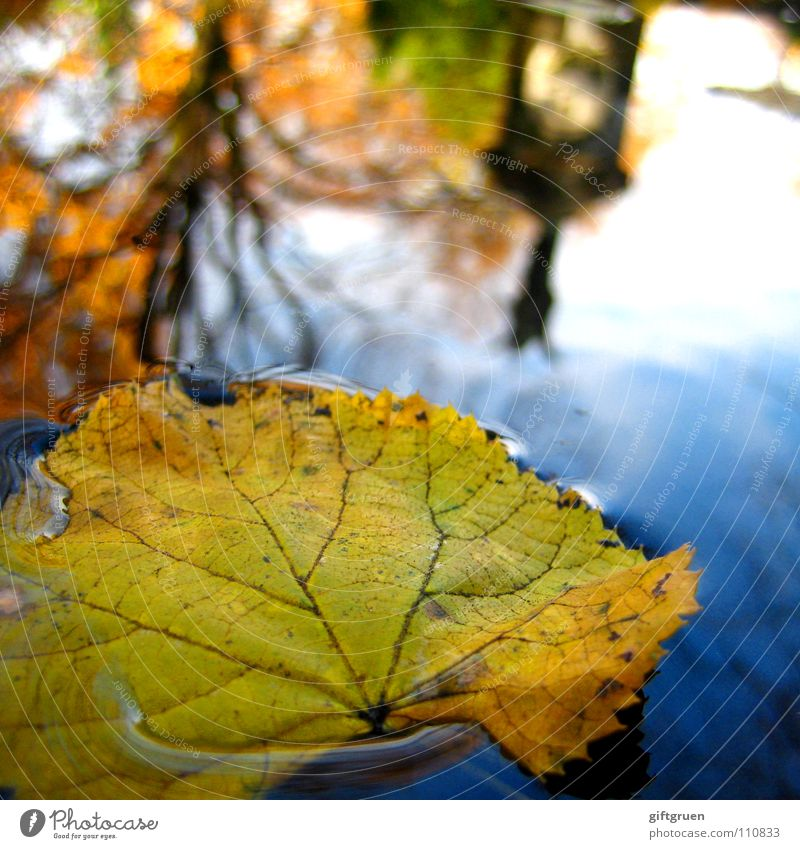 October Leaf Autumn Puddle Yellow Multicoloured Reflection Tree Wet Cemetery Transience Autumnal Water Sky Sun Float in the water