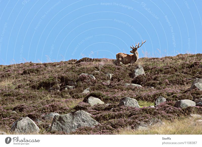 Nature Blue Landscape Animal Freedom Brown Wild Idyll Wild animal Hill Cloudless sky Blue sky Scotland Deer Great Britain