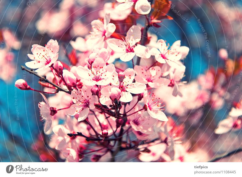 Blue Spring Blossom Jump Pink Branch Blossoming Retro Twig Cherry Cherry blossom Cherry tree