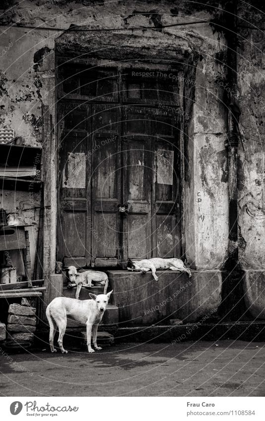 Dogs in Calcutta Town Old town Deserted House (Residential Structure) Building Wall (barrier) Wall (building) Stairs Door Animal Pet 3 Group of animals Stone
