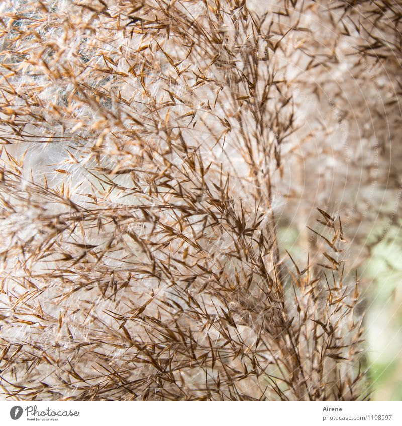 Plant Green Grass Brown Bright Soft Common Reed Grain Seed Aquatic plant Grainy