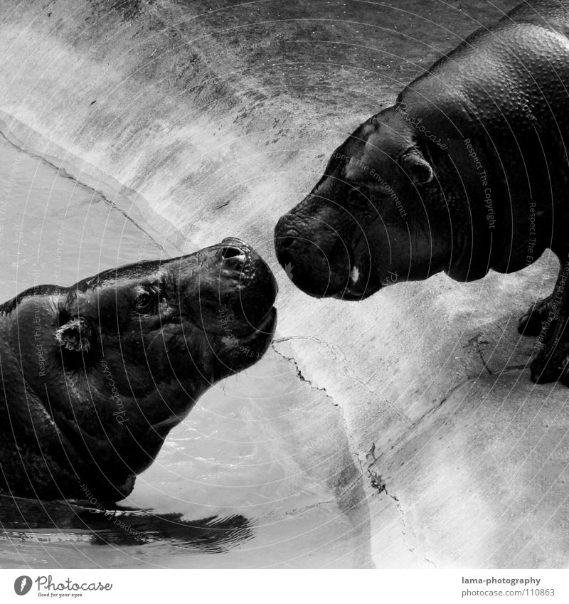 Hippo Love Hippopotamus Dangerous Animal Zoo Affection Kissing Lovers Rutting season Caresses Romance Touch Together Emotions Friendship Intuition Relationship