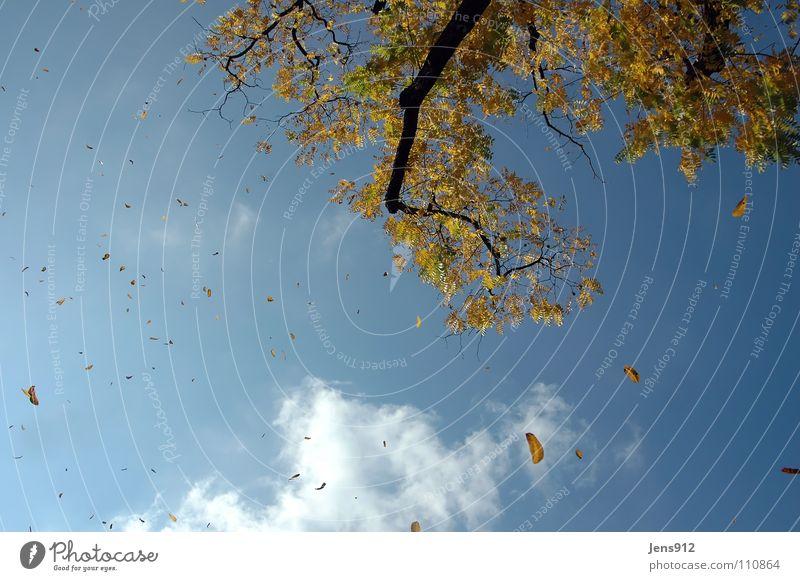 Sky Tree Blue Leaf Clouds Yellow Autumn Orange Wind Branch Twig Autumn wind
