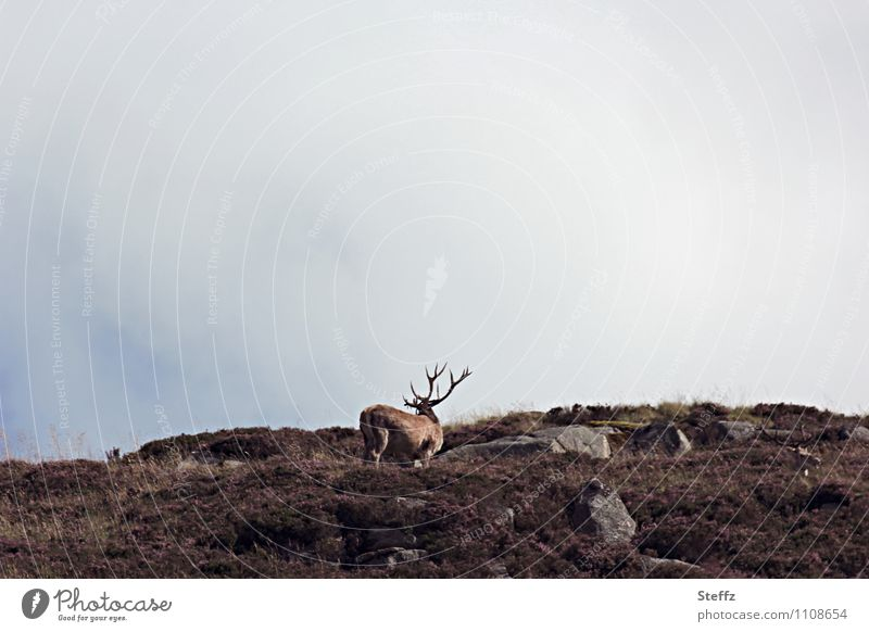 Nature Landscape Animal Autumn Gray Freedom Brown Wild Idyll Wild animal Free Hill Scotland Deer Great Britain Early fall