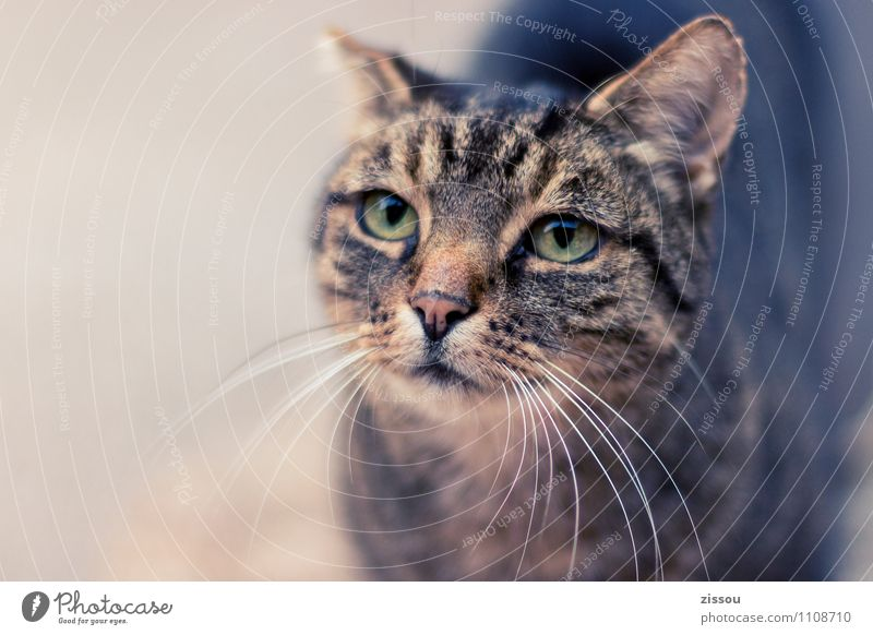 Lilly Pet Cat Animal face 1 Looking Beautiful Cuddly Under Brown Curiosity Interest Senses Colour photo Exterior shot Deserted Copy Space left