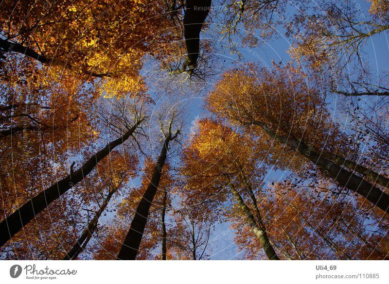 Tree Leaf Yellow Autumn Gold Treetop Beech tree