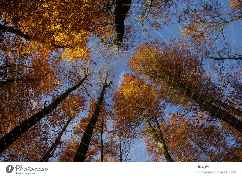 Treetops in autumn Autumn Leaf Yellow Beech tree Gold color