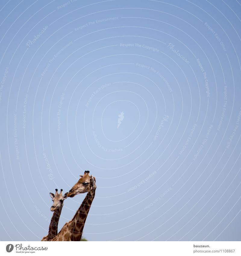 whowooh? Vacation & Travel Tourism Trip Safari Expedition Summer Sun Nature Sky Cloudless sky Warmth Etosha pan Namibia Africa Animal Wild animal Giraffe 2