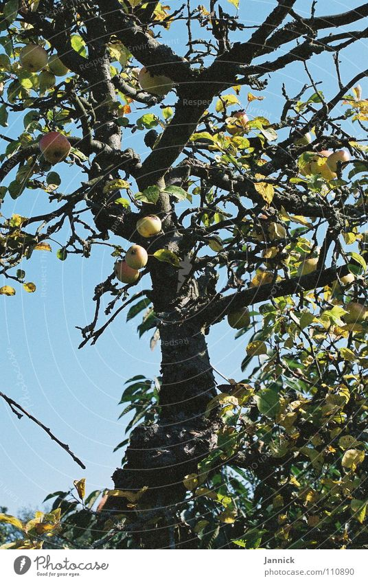 Sky Tree Blue Summer Yellow Healthy Fruit Branch Apple Twig Fulda district