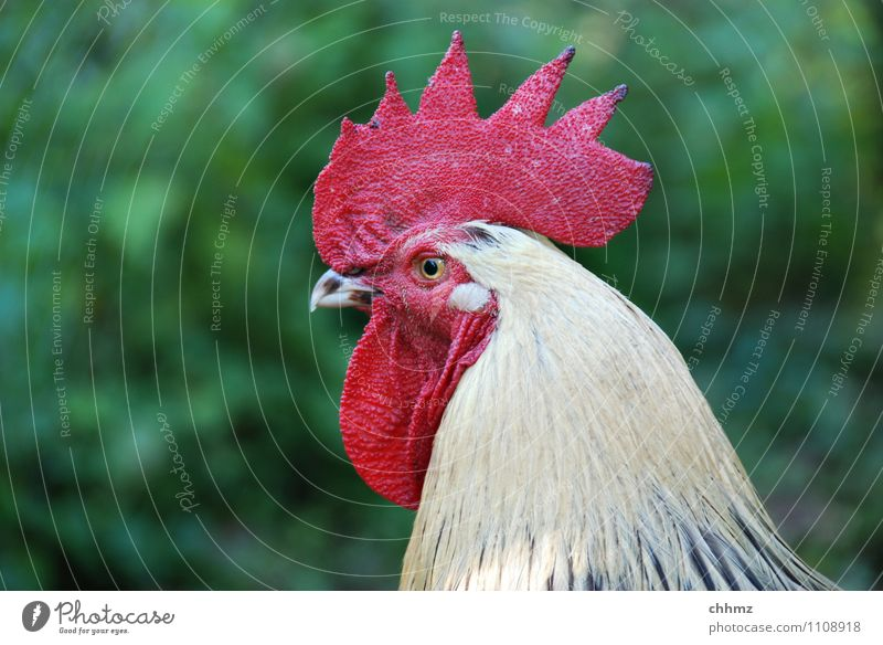 Red Animal Elegant Power Curiosity Watchfulness Pride Willpower Barn fowl Determination Arrogant Rooster Jealousy Poultry Swagger