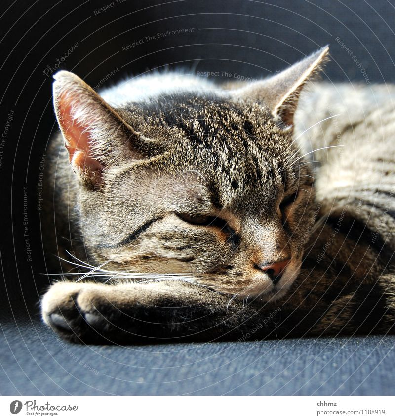 Cat Relaxation Animal Black Gray Lie Stripe Ear Pet Trust Pelt Paw Stagnating Armchair Rest Whisker