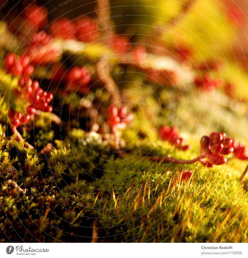 Sedum - Moss - Roof garden Green Red Plant Flower Sun Cistern Autumn Macro (Extreme close-up) Close-up Roof greening greening Sedum Moss Sedum acre succulent