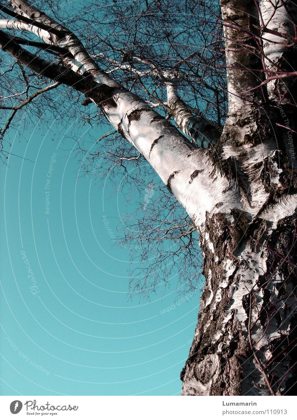 Defoliated Tree Tree trunk Branchage Birch tree Wood Leafless Winter Cold Calm White Brown Transience betulaceae birch To hibernate Sky Clarity Blue turquoise