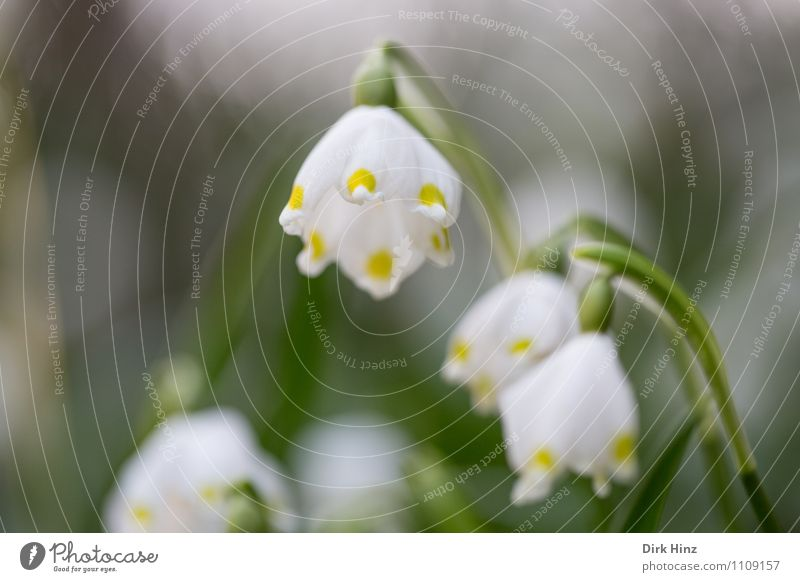March Cup II Environment Nature Plant Flower Blossom Wild plant Garden Park Forest Yellow Green Hope Spring snowflake Fragrance Blur Spring flowering plant