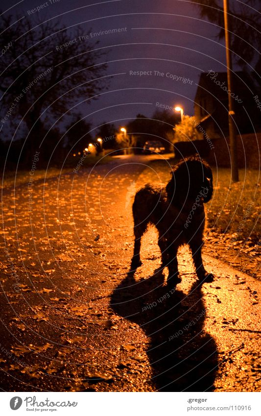 Calm Leaf Black Street Dark Autumn Gray Dog Rain Wet To go for a walk To fall Mysterious Lantern Damp Mammal