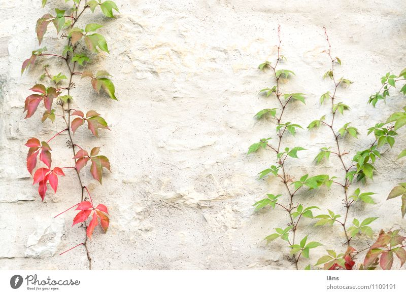 cat burglar Autumn Plant Leaf Foliage plant Wall (barrier) Wall (building) To hold on Transience Attachment Climbing wax Virginia Creeper leaves Colour photo
