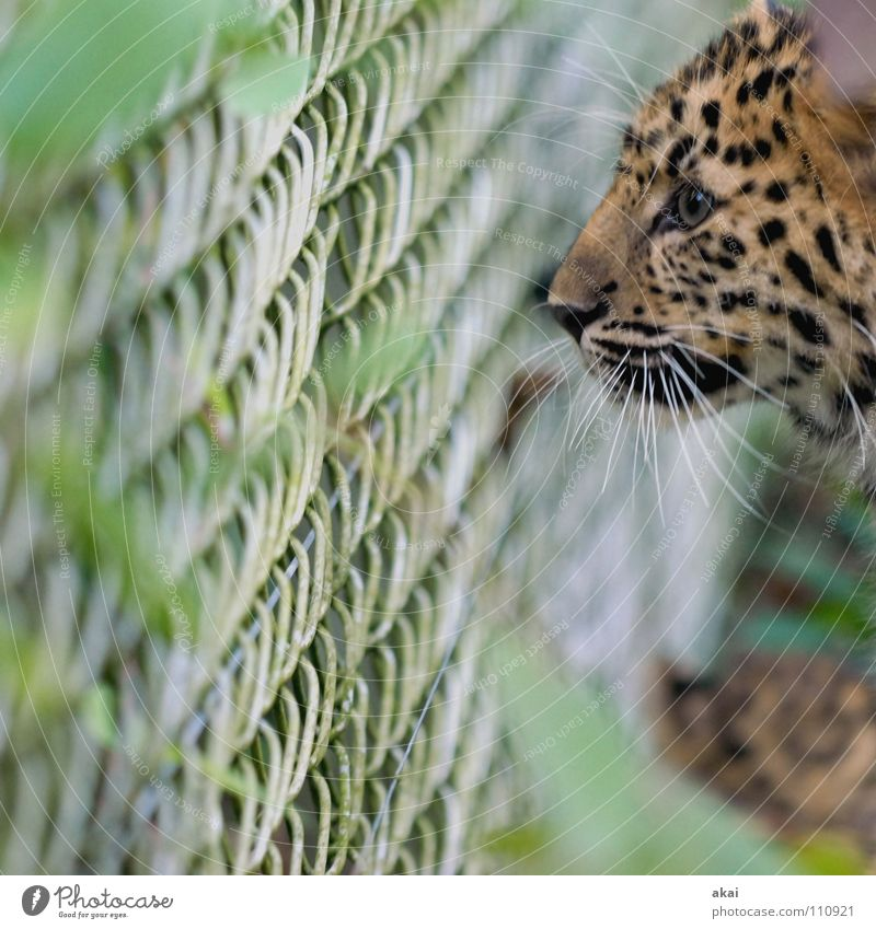 Booty? Beautiful Animal Watchfulness Caution Concentrate Hunter Panther Big cat Observe Looking Eyes Animal face Animal portrait Whisker Gaze Fence Fenced in