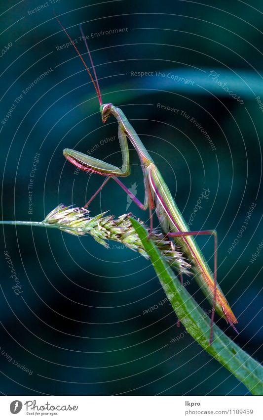 in pray in a leaf Animal Paw Blue Brown Green Aggression Colour lkpro Mantis Religiosa natura colori verde marrone insetto Insect zampe mantide mantoidei