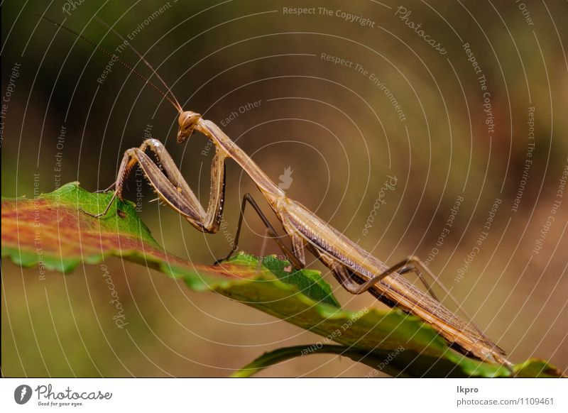 in a green leaf Garden Environment Nature Plant Leaf Animal Paw Brown Green Red Colour lkpro Mantis Religiosa natura colori rosso verde marrone insetto Insect