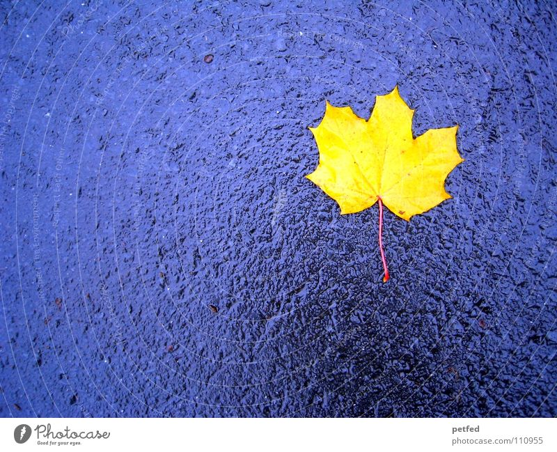 lonely and alone Leaf Yellow Autumn Wet Maple tree Gray Seasons Street To fall Weather Rain Blue Life Wind