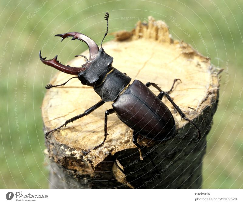 deer cheef, lucanus, cervus Animal Wild animal Beetle Environmental protection Stag beetle Lucanus male Antlers rarer Insect Seldom Few times conservation