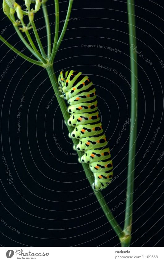 Caterpillar, swallowtail, Nature Animal Wild animal Butterfly Free Yellow Black Swallowtail Papilio machaon butterflies Insect Noble butterfly spotted butterfly