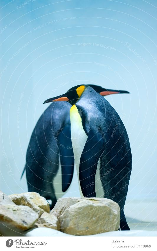 tailcoat carrier Penguin Cold Animal Bird Antarctica Emperor penguins Waddle Friendship Stand Beak Funny Light blue Sky In front of each other Side by side Ice