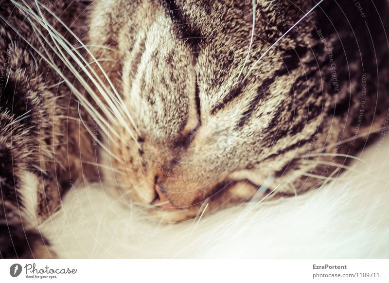 locomotive Pet Cat Animal face Pelt 1 Sleep Brown Relaxation Rest Calm Whisker Nose Dream Colour photo Subdued colour Interior shot Close-up Deserted Day