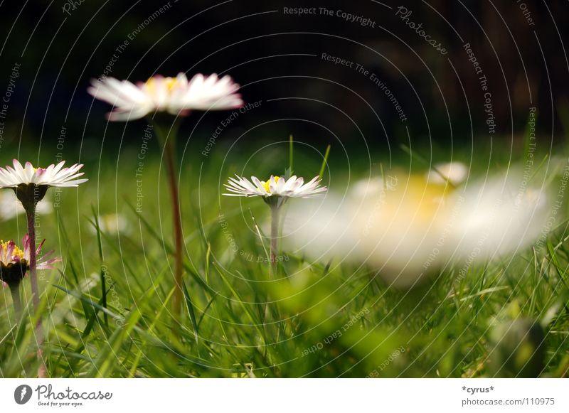 Flower Summer Meadow Grass Lawn Daisy Summer's day