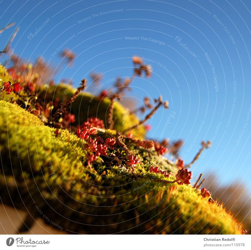 Sky Flower Green Plant Red Autumn Landscape Roof Decoration Beautiful weather Macro (Extreme close-up) Cistern Sedum Roof garden