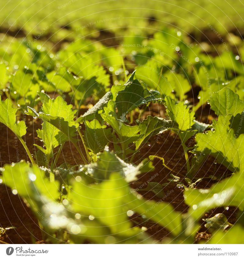 Plant Field Earth Ground Agriculture Ecological Organic produce Canola Organic farming Cooking oil Plantlet Canola field Bio-diesel Bio-fuel Oilseed rape oil