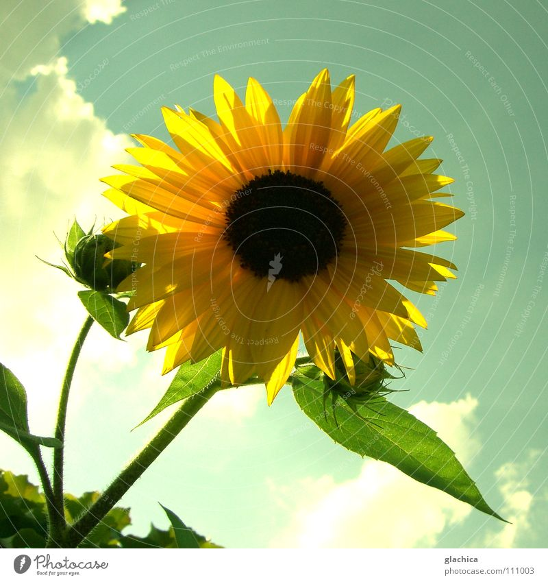 sunflower Sunflower Happiness Autumn Flower Clouds Light Lighting Summer Yellow Back-light Evening sun Green Dusk Moody Landscape Sky Blossoming Blue