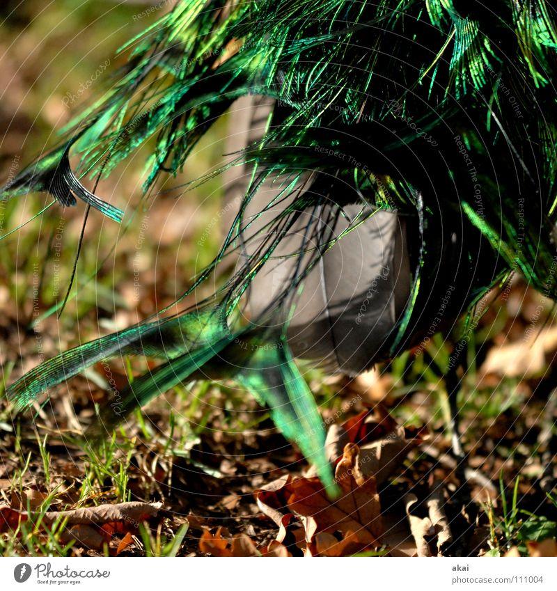 Beautiful Animal Bird Peace Watchfulness Hunting Testing & Control Zoo Caution Hunter Warped Peacock