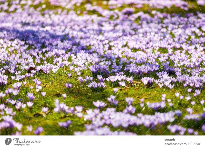 Crocus Stamen Flower Blossoming Flower necklace Plant Saffron Romance Spring Bouquet Easter Meadow Odor Floral Blossom leave Nature Garden Cute Small Fresh