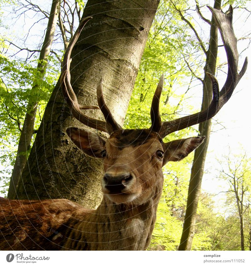The stag Wild animal Deer Antlers Forest Tree Sublime Pelt Animal Green Feeding Timidity Fear Strong Fallow deer Hunter Majestic Superior Dream Fairy tale