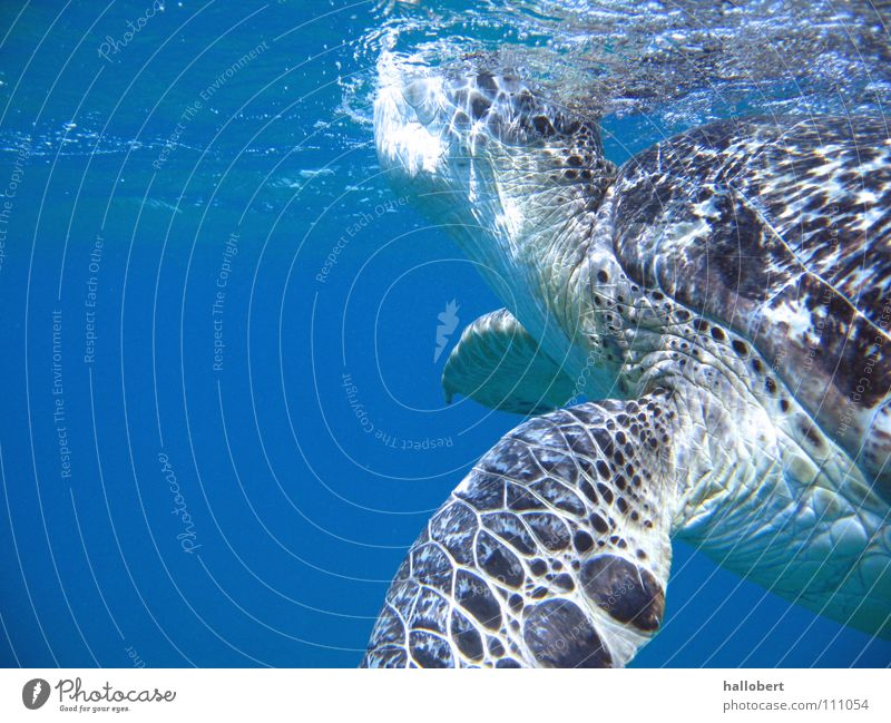 Water Ocean Vacation & Travel Dive Maldives Turtle Reef Snorkeling Underwater photo Environmental protection Animal protection
