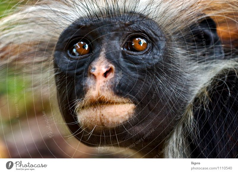 ape nature black pink hair a royalty free stock photo from photocase