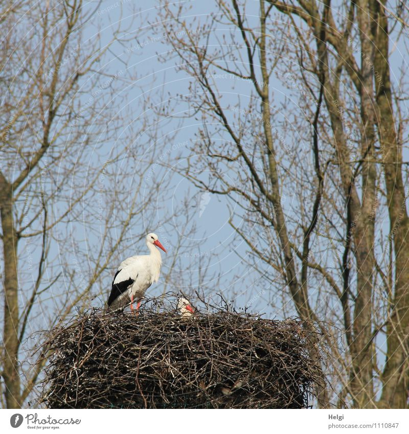 family planning Environment Nature Plant Animal Cloudless sky Spring Beautiful weather Tree Wild animal Stork White Stork Nest 2 Looking Stand Esthetic Together