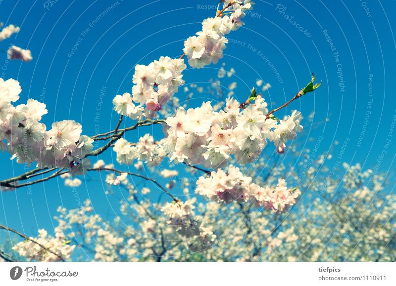 Blue Summer Flower Spring Blossom Lanes & trails Pink Easter Nostalgia Japan Cherry Spring fever Cherry blossom Cherry tree