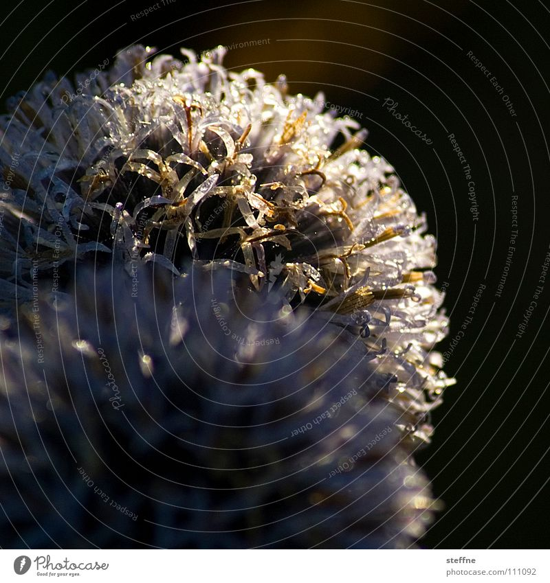 thistle Thistle Flower Plant White Blur Depth of field Meadow Bushes Light Summer Autumn globe thistle Thorn Pain Nature Silver Sun Gold Hair and hairstyles