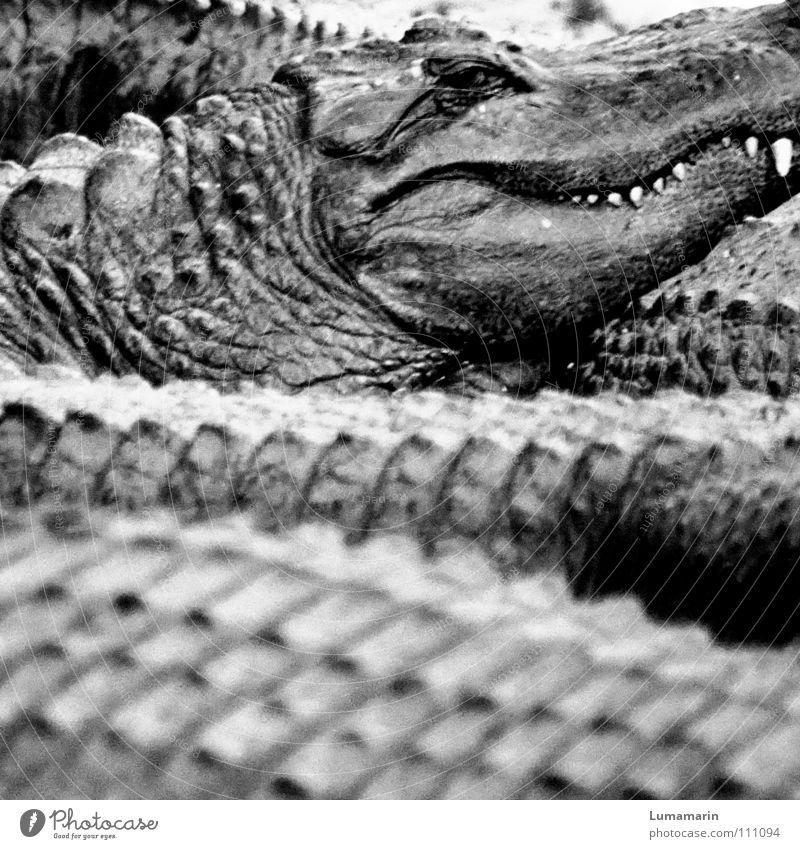 family affair Alligator Crocodile Reptiles Accumulation Heap Watchfulness Observe Dangerous Threaten Slowly Calm Motionless Serene Sublime Eerie Creepy Arrogant