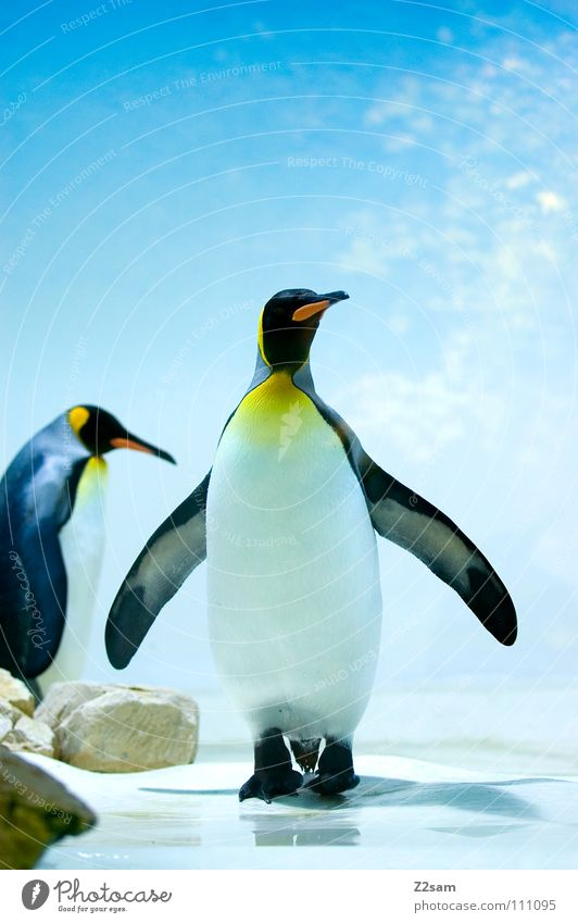 poser in a tailcoat Penguin Cold Animal Bird Antarctica Emperor penguins Waddle Stand Beak Yellow Funny Light blue Sky Middle Posture Ice Blue Wing In pairs